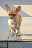 Perro de la chihuahua Fotos de archivo libres de regalías