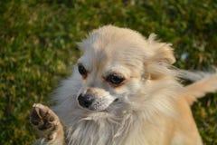Perro de la chihuahua Fotos de archivo