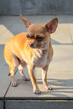 Perro de la chihuahua Imagen de archivo libre de regalías