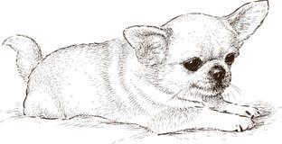 Perro de la chihuahua Imagenes de archivo