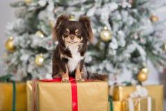 Perro de la chihuahua de Brown que presenta dentro para la Navidad Fotos de archivo