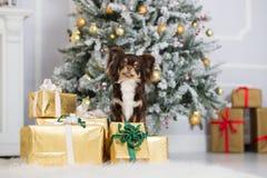 Perro de la chihuahua de Brown que presenta dentro para la Navidad Foto de archivo