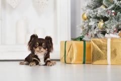 Perro de la chihuahua de Brown que presenta dentro para la Navidad Imagen de archivo