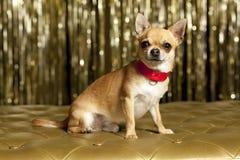 Perro de la chihuahua con el collar rojo Imagenes de archivo