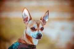 Perro de la chihuahua con el fondo unfocused fotos de archivo libres de regalías