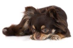 Perro de la chihuahua de Brown que se acuesta imagen de archivo