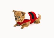 Perro de la chihuahua del animal doméstico Imagen de archivo libre de regalías