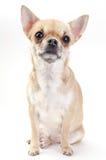 Perro de la chihuahua del cervatillo Imagen de archivo libre de regalías
