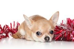 Perro de la chihuahua en guirnaldas Foto de archivo
