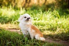 Perro de la chihuahua en hierba verde Fotos de archivo