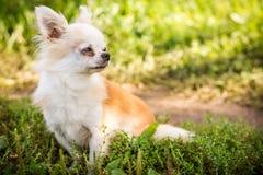 Perro de la chihuahua en hierba verde Imagenes de archivo