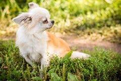 Perro de la chihuahua en hierba verde Imagen de archivo libre de regalías