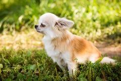 Perro de la chihuahua en hierba verde Foto de archivo libre de regalías