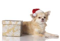 Perro de la chihuahua en la Navidad aislado Imágenes de archivo libres de regalías