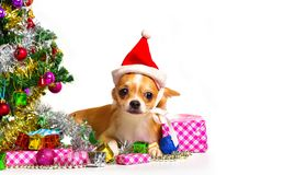 Perro de la chihuahua en la Navidad Foto de archivo