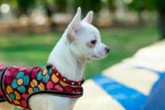 Perro de la chihuahua en ropa Fotos de archivo
