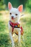 Perro de la chihuahua en ropa Imagenes de archivo
