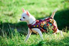 Perro de la chihuahua en ropa Fotografía de archivo libre de regalías