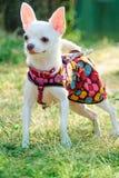 Perro de la chihuahua en ropa Foto de archivo