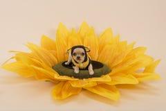 Perro de la chihuahua en un girasol vestido como pequeña abeja Fotos de archivo