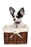 Perro de la chihuahua en una cesta. Imagen de archivo
