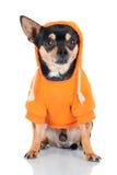 Perro de la chihuahua en una sudadera con capucha anaranjada Foto de archivo libre de regalías