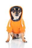 Perro de la chihuahua en una sudadera con capucha anaranjada Fotografía de archivo