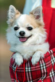 Perro de la chihuahua listo para el viaje en bolso rojo Fotos de archivo