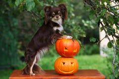Perro de la chihuahua que presenta con las calabazas talladas Imagen de archivo libre de regalías