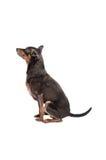 Perro de la chihuahua que se sienta en blanco Foto de archivo libre de regalías