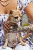 Perro de la chihuahua y una mano tatuada Imagen de archivo libre de regalías