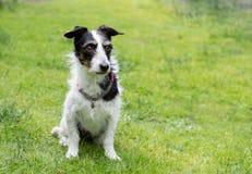 Perro de la cruz de Jack Russell Espacio para el texto fotografía de archivo libre de regalías