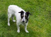 Perro de la cruz de Jack Russell que se coloca en hierba foto de archivo