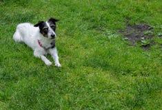 Perro de la cruz de Jack Russell Remiendo calvo en césped Copie el espacio foto de archivo