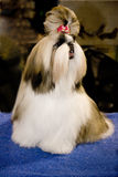 Perro de la demostración del campeón Fotos de archivo