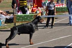 Perro de la demostración del verano Imagenes de archivo
