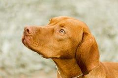 Perro de la demostración de Viszla que mira para arriba su controlador Fotos de archivo