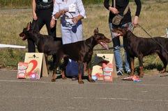 Perro de la demostración del verano Fotos de archivo