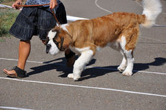 Perro de la demostración del verano Imágenes de archivo libres de regalías