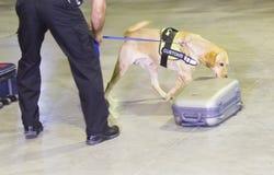 Perro de la detección de drogas de las aduanas Foto de archivo libre de regalías