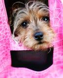 Perro de la diva en color de rosa caliente Fotografía de archivo libre de regalías
