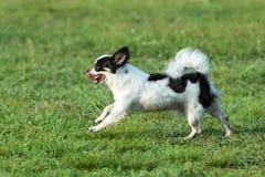 Perro de la diversión, perros felices que se divierten en un campo, corriendo en el campo Chihuahua Imagen de archivo libre de regalías