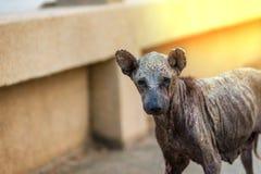 Perro de la enfermedad de la piel Foto de archivo