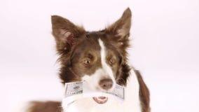 Perro de la frontera del collie con la pila de cuentas cincuenta dólares en sus dientes almacen de video