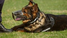 Perro de la gendarmería durante un ejercicio de formación Foto de archivo