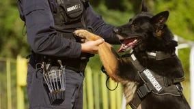 Perro de la gendarmería que juega con el instructor Imagen de archivo libre de regalías