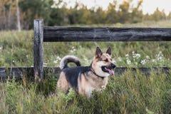Perro de la granja Imágenes de archivo libres de regalías