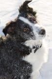 Perro de la granja de Colllie de la frontera Nevado que mira hacia arriba. Fotos de archivo