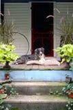 Perro de la granja en Front Porch Foto de archivo libre de regalías