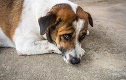 Perro de la honradez Fotografía de archivo